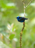 Red legged honeycreeper Stock Images