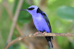 Red-legged Honeycreeper Royalty Free Stock Image