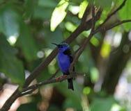 Red Legged Honeycreeper bird Royalty Free Stock Images