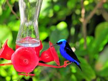 Red-legged honeycreeper on birdfeeder Stock Photos