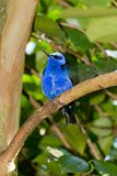 Red-legged Honeycreeper (Cyanerpes cyaneus) Royalty Free Stock Photography