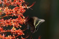 Red-legged Honeycreeper Cyanerpes cyaneus Royalty Free Stock Photography