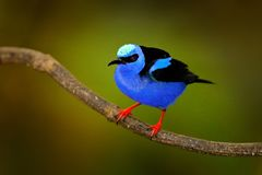 Red-legged Honeycreeper, Cyanerpes cyaneus, exotic tropical blue bird with red legs from Costa Rica. Tinny songbird in the nature. Habitat. Tanager birdwatching Stock Image