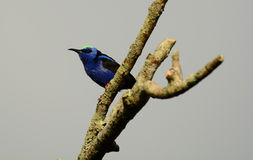 Red-legged honeycreeper Royalty Free Stock Photos