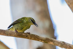 Red-legged Honeycreeper Royalty Free Stock Images