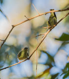 Red-legged Honeycreeper females Stock Photos