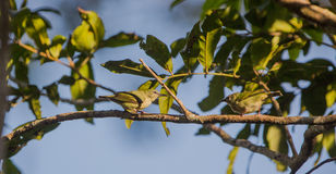 Red-legged Honeycreeper females Stock Images