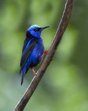 Red-legged Honeycreeper, Male Cyanerpes cyaneus Stock Photo