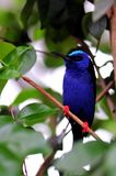 Red-legged honeycreeper perched on branch Royalty Free Stock Image