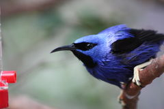 Red Legged Honeycreeper. A picture of a feeding Red Legged Honeycreeper stock photo