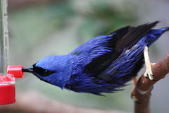 Red Legged Honeycreeper. A picture of a feeding Red Legged Honeycreeper stock photography