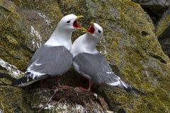 Red-legged kittiwake pair sitting the nest and flashy Royalty Free Stock Photography