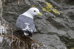 Red-legged kittiwake which sits on the nest head turned Stock Photography