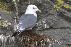 Red-legged kittiwake which sits on the nest Stock Images