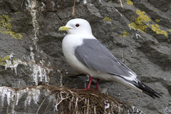 Red-legged kittiwake which stands on the nest. Overcast spring day stock photography