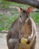 Red-legged pademelon closeup portrait. Red-legged pademelon (forest kangaroo) closeup portrait Royalty Free Stock Photography