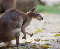 Red-legged pademelon Stock Image