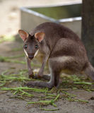 Red-legged pademelon stares at camera Royalty Free Stock Images
