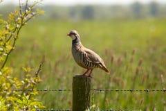 Red-legged Partridge royalty free stock photo