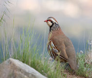 Red Legged Partridge Stock Photo