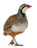 Red-legged Partridge Royalty Free Stock Images