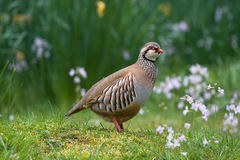 Red-legged Partridge Royalty Free Stock Photography