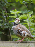 Red-legged Partridge Alectoris rufa Royalty Free Stock Image