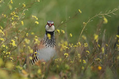 Red-legged partridge. Alectoris rufa Royalty Free Stock Photo