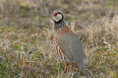 Red-legged partridge Stock Image