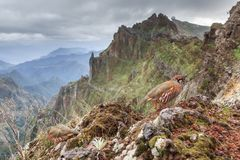 French partridge in Madeira stock photo