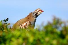 Red-legged Partridge Royalty Free Stock Photos