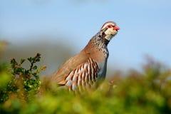 Red-legged Partridge Royalty Free Stock Image