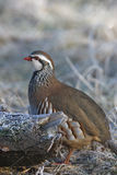 Red legged partridge, Alectoris rufa Royalty Free Stock Images
