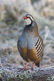 Red legged partridge, Alectoris rufa Stock Photo