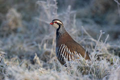 Red legged partridge, Alectoris rufa Stock Photography