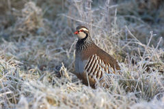 Red legged partridge, Alectoris rufa Stock Photos