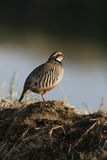 Red-legged partridge, Alectoris rufa Royalty Free Stock Image