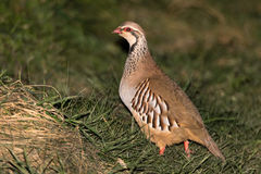 Red-legged partridge Alectoris rufa in profile Stock Photography