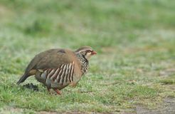 A pretty Red-Legged Partridge, Alectoris rufa, searching for food in a field on a wet morning in the UK. A Red-Legged Partridge, Alectoris rufa, searching for royalty free stock photo