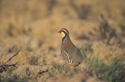 Red-legged partridge, Alectoris rufa, Stock Photos