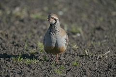 Red-legged partridge, Alectoris rufa, Stock Photo