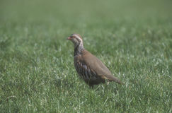 Red-legged partridge, Alectoris rufa, Stock Image
