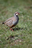 Red-legged partridge, Alectoris rufa Stock Images