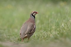 Red-legged partridge, Alectoris rufa Royalty Free Stock Photos