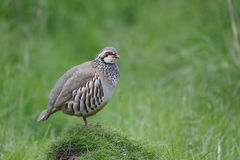 Red-legged partridge, Alectoris rufa Stock Image
