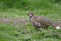 Red-legged partridge, Alectoris rufa Stock Photo