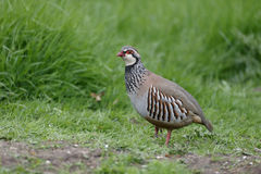 Red-legged partridge, Alectoris rufa Royalty Free Stock Images