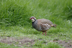 Red-legged partridge, Alectoris rufa Stock Photos