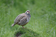Red-legged partridge, Alectoris rufa Royalty Free Stock Image