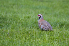Red Legged Partridge (Alectoris rufa) Royalty Free Stock Photos